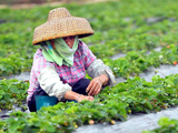 Erdbeeren-Pfl�ckerin in China; dpa / picture alliance