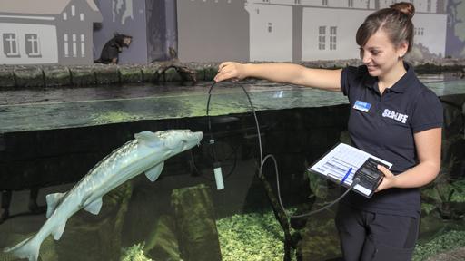 Mitarbeiterin von Fisch in Aquarium.