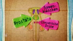 Mein Körper: Sperma - Prostata, Samenbläschen, Cowper; Rechte: WDR 2012