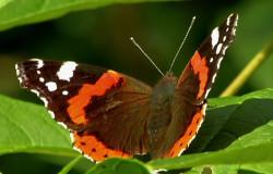 Ein bunter Schmetterling sitzt mit aufgefalteten Flügeln auf einem Blatt.; Rechte: WDR