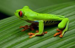 Ein grüner Frosch aus Costa Rica sitzt auf einem großen Blatt (Bildrechte: WDR)