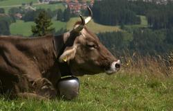 Kuh Lena liegt in der 'Sendung mit dem Elefanten' auf einer grünen Wiese.; Rechte: WDR
