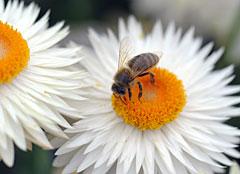 Biene sitzt auf weißer Blüte.; Rechte: WDR/dpa