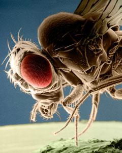 Drosophila Melongaster von der Seite mit grossen roten Augen und hoher Auflösung ; Rechte: interfoto/kage