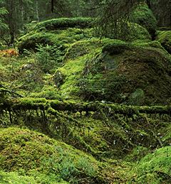 Blick in das moosbewachsene Unterholz eines naturbelassenen Nadelwaldes.; Rechte: mauritius images / imagebroker